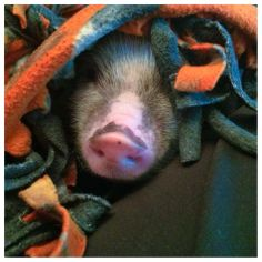 #Love this #face #piggy #minipig
