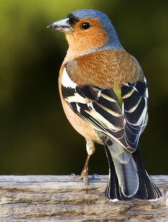 Chaffinch. I've had one of these guys outside the last few days. Such a cheery song, and so pretty to look at. As with many birds, the males are more colourful and are the singers :-)