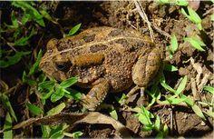 Bufonidae - naozajstné ropuchy | Wildlife Journal Junior