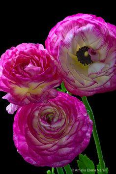 ~~Ranunculus by Amalia Elena Veralli~~