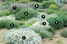 1. Achillea umbellata  (15-25 cm / 30-40 cm) 2. Phlomis lychnitis  (15-25 cm / 30-40 cm) 3. Rhodanthemum hosmariense  (20-30 cm  /  40-50 cm) 4. Santolina rosmarinifolia 'Caerulea'  (60 cm  /  60 cm) 5. Artemisia lanata  (3-15cm  /  30-40 cm) 6. Lomelosia cretica 'Jeanne et Jean'  (60-80 cm  /  60-80 cm) 7. Lavandula dentata 'Cap Rihr'  (60-80 cm  /  60-80 cm) 8. Ballota pseudodictamnus  (60 cm  /  80 cm)