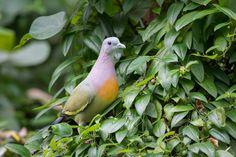 Pink-necked Green Pigeon #pigeon #bird #nature #wildlife #animal #green #photography #Nikon