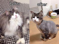 Hyne, Norwegian Forest Cat. summer cut!