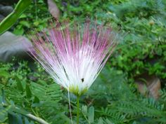 Flor de aromo