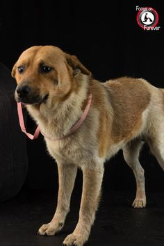 Location: Corpus Christi Animal Care Services (CCACS), 2626 Holly Road, Corpus Christi, Texas, (361) 826-4630 CCACS #: A254333 NAME: Henry PROFILE: Henry is a Australian shepherd mix gentleman. He is about a year and a half of age. He has brown and white soft hair. He was a bit shy of the camera but enjoyed the affection and attention of our volunteers.