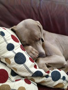 Sleepy, sleepy weim!! Pooty and pearl do this all day long lol