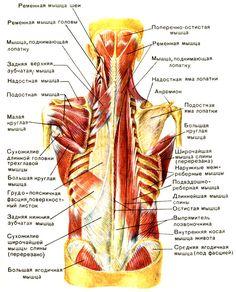 Глубокие мышцы спины: слева - пояснично-спинная фасция и задние зубчатые мышцы; справа - I и II тракты глубоких мышц спины [1979 Курепина М М Воккен Г Г - Анатомия человека Атлас]