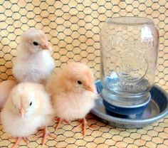 QUICK CHICK CHECKLIST    Here's what you will need before your chicks arrive:    Brooder - either homemade or store bought  Heat Lamp with Two Red Bulbs or Brinsea Eco-Glow  Starter Feed (either Medicated or Non-Medicated)  Chick-sized Feeder  Chick-sized Waterer with Marbles  Chick-sized Grit  Rubber Shelf Liner/Newspaper  Pine Shavings  Plain Pedialyte, Manna Pro Life-Lytes or Sav-a-Chick