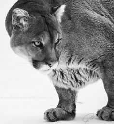 Cougar by Cornell Gill