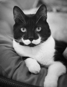 This black and white kitty has a nice moustache that twirls back like a villain of a Hollywood action thriller. The white bib at the bottom of this kitty's neck and the cool moustache marking above the lips complements each other very well. Funny Cats, Funny Animals, Cute Animals, Party Animals, Animals Images, Crazy Cat Lady, Crazy Cats, I Love Cats, Cool Cats