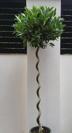 Bay Tree Topiary Offer  Twisted Stems Buy 2 for £200 - save £50 We deliver to UK and Ireland https://www.paramountplants.co.uk/plant/BAYTREE/bay-tree.html
