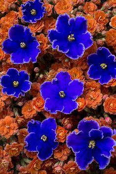 Violets And Kalanchoe Photograph By Garry Flowers Orange Purple