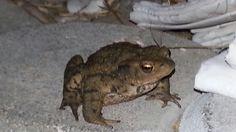 Frosch oder Kröte? Abendlicher Besuch auf der Terrasse Animals, Patio, Animales, Animaux, Animal, Animais