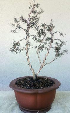 picture 1 unfortunately my original pre bonsai tea tree ruby rh pinterest com Bougainvillea Bonsai Ficus Bonsai