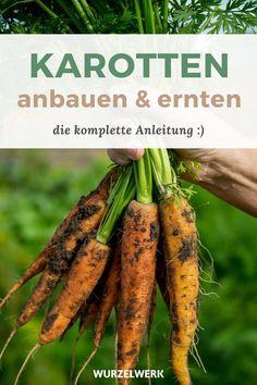 Der komplette Karotten-Guide: Pflanzen, Anbauen und Ernten - Möhren selber anbauen? Kein Problem! In diesem Artikel erfährst du alles zum Thema Standort, Pflege, Düngung und Bewässerung. Von der Aussat bis zur Ernte. Wie immer bekommst du auch Sortenvorschläge! Wie muss ich vorgehen, um eine reiche Ernte zu bekommen? #Karotten #Selbstversorger #Wurzelwerk Carrots, Vegetables, Food, Companion Planting, Farmhouse Garden, Nth Root, Harvest, Veggie Food, Vegetable Recipes