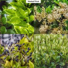 Evergreen Gartenbau emerald gaiety euonymous euonymous fortunei emerald gaiety type