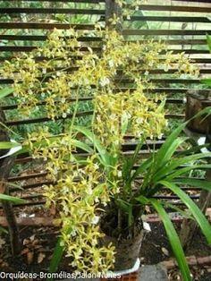Orquídea: Encyclia oncidioides