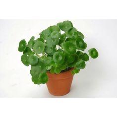 Centella Asiatica 'Lucky Leaves'