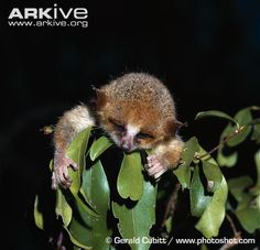 Madame Berthe's mouse lemur (Microcebus berthae) Described as a new species in 2000, the tiny Madame Berthe's mouse lemur is believed to be the world's smallest living primate