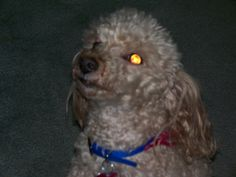 CeJaye was my first dog. He was a Toy Poodle.