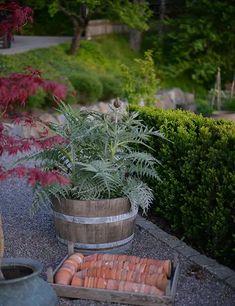 Garden Spaces, Garden Plants, Container Plants, Container Gardening, Growing Artichokes, Artichoke Plants, Outdoor Gardens, Outdoor Ideas, Rock