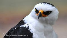 The black-and-white hawk-eagle (Spizaetus melanoleucus, formerly Spizastur melanoleucus) is a bird of prey species in the eagle and hawk family (Accipitridae). It is found in a large part of tropical America.