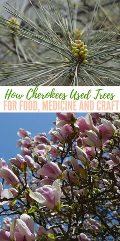 How Cherokees Used Trees for Food, Medicine, and Craft — There are those articles that stir ideas, that offer small smatterings of information often prefaced with a bold title. These articles are very important to the content of the community.