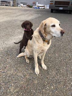 My new puppy meeting her big sister #aww #cute #cutecats #dinkydogs #animalsofpinterest #cuddle #fluffy #animals #pets #bestfriend #boopthesnoot