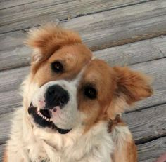 Meet Dylan, a Petfinder adoptable Saint Bernard St. Bernard Dog | Las Vegas, NV | Dylan is a 2 year old 55 lb. male St. Bernard mix.  He is Native American!  He grew up on the...