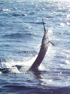 Deep sea fishing is so on my bucket list. Fishing Life, Sport Fishing, Gone Fishing, Fishing Boats, Cool Fish, Big Fish, Marlin Fishing, Fishing Photos, Salt Water Fish