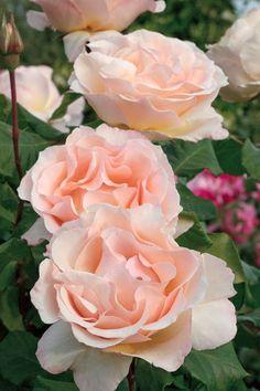 """""""Johann Strauss"""" Ros Beautiful gorgeous pretty flowers"""