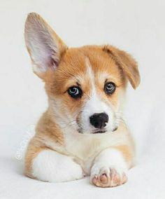 Little Dogs, Corgi, Guys, Animals, Pet Dogs, Little Puppies, Corgis, Animales, Animaux