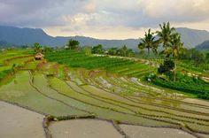 rizière bali