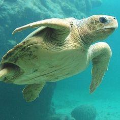 Tortue de mer, France - PROTEGEONS LES MERS : http://www.facebook.com/pages/Protection-des-mers-et-des-animaux-marins/102549889800913