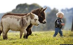 15-month-old Jack Johnston goes for a short walk in the paddock with micro miniature donkeys called 'Snuggle Pot' and 'Livingstone' at Amelia Rise Donkeys. (David Caird / Newspix / Rex USA)