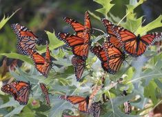 Up To 300 Million Monarch Butterflies Are Headed Straight For South Carolina This Spring The Monarch butterfly population is on the rise - in more ways than one! You can see millions of Monarch butterflies in South Carolina this spring. Monarch Butterfly Migration, Places In Florida, Butterfly House, Beautiful Butterflies, New Mexico, Bellisima, Arkansas, Mississippi, South Carolina