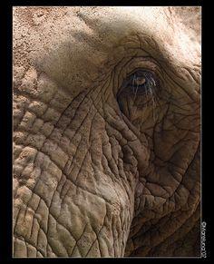 Elephan eye