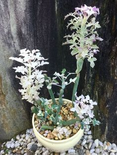 Senecio articulatus 'Variegatus' (Variegated Candle Plant) is an evergreen perennial up to 2 feet (60 cm) tall. It has pale grey green...