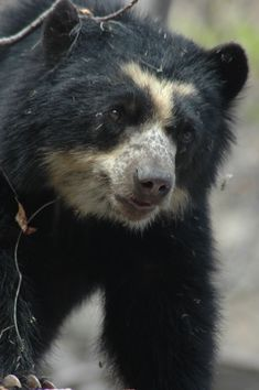 "Spectacled Bears Conservation Society - ""Laura""--Our First Sighted Bear in the Wild"