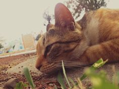 The lazy cat. Lazy Cat, Cats, Photos, Animals, Gatos, Pictures, Animais, Animales, Kitty Cats