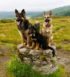 German Shepherd family. Ollie, Maia (puppy) & Khiya. (by Alan Cruickshank.)