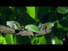 Video of Waxy Monkey Leaf Frog (Phyllomedusa sauvagii) waxing itself