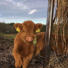Image in ˗ˏˋ🍒 ˎˊ˗ collection by monika on We Heart It – laurajournals - Baby Animals Cute Baby Cow, Baby Cows, Cute Cows, Cute Babies, Baby Farm Animals, Baby Elephants, Fluffy Cows, Fluffy Animals, Animals And Pets