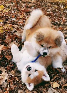 Japanese Dog Breeds, Japanese Dogs, Akita Puppies, Akita Dog, Cute Cats And Dogs, Cute Dogs And Puppies, Doggies, Cute Funny Animals, Cute Baby Animals