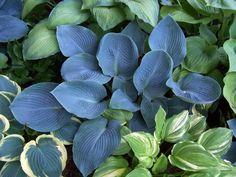 Hosta 'Blue Vision' some of my garden favorites! Hosta Plants, Foliage Plants, Shade Plants, Garden Plants, Blue Hosta, Hosta Varieties, Hosta Gardens, Peonies Garden, Heuchera