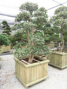 Camellia sasanqua | benvenuti su nippontree FRA | nippontree.it