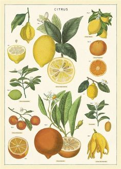 Poster Citrus - Cavallini & Co - Vintage Schoolplaat Vintage Botanical Prints, Botanical Drawings, Botanical Art, Botanical Posters, Vintage Prints, Vintage Wall Art, Antique Prints, Photo Wall Collage, Picture Wall