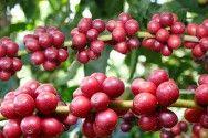 Floradas concentradas de café animam produtores para a safra 2013