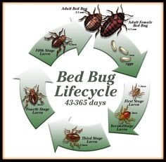 ✅ Today we want to share some of the best bed bug life cycle pictures so you know more about this pest. Cycle Pictures, Bed Bugs, Cool Beds, Life Cycles, Different Patterns, Original Image, Modern Beds