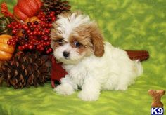 Facts about the Cavalier King Charles Spaniel. Little Dogs, Cute Little Animals, Cute Puppies, Cute Dogs, Dogs And Puppies, Doggies, Animals Kissing, Baby Animals, King Charles Spaniel